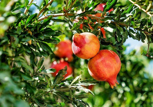 Különleges gyümölcstermők